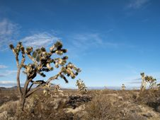 Free Joshua Tree In The Desert Stock Images - 8310474