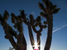 Free Joshua Tree In The Desert Stock Photos - 8310483