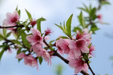 Free The Peach Blossom Royalty Free Stock Image - 8311606