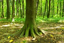 Free Green Forest Royalty Free Stock Photo - 8312655