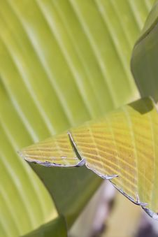 Free Banana Leaf Royalty Free Stock Images - 8314809