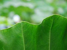 Free Leaf Of Giant Araceae Royalty Free Stock Photography - 8316257