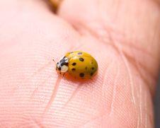 Free Ladybug Royalty Free Stock Photos - 8316718