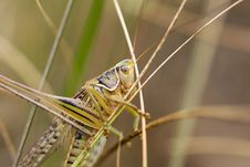Free Grasshopper Royalty Free Stock Photo - 8317865