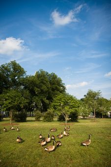 Free Canadian Geese Royalty Free Stock Images - 8317969