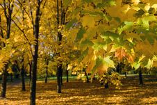 Free Gold Autumn Royalty Free Stock Photography - 8318127