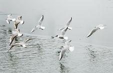 Free Seagulls Stock Image - 8318761