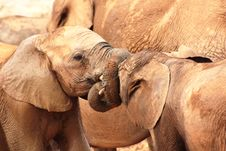 Free Two Young Elephants Calves Royalty Free Stock Images - 8319219