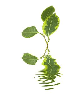 Free Ficus Leaf And Reflection Stock Photography - 8319692