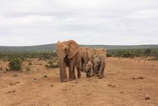 Free Elephant Herd Royalty Free Stock Photo - 8319755
