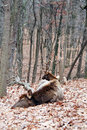Free Bull Elk Stock Photography - 8320972