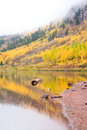 Free Aspen Trees In The Fall Royalty Free Stock Image - 8325156