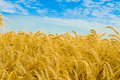 Free Wheat And Sky Stock Photo - 8329060