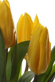 Free Yellow Tulips. Royalty Free Stock Photography - 8320747