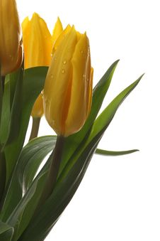 Free Yellow Tulips. Stock Photo - 8320810