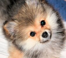 Free Pomeranian Puppy Royalty Free Stock Image - 8321096