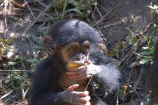 Free Young Chimp Royalty Free Stock Photos - 8322648