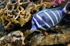 Free Marine Fish Stock Image - 8322901