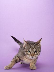 Striped Kitten, Isolated Royalty Free Stock Photos
