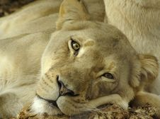 Free Lioness Royalty Free Stock Photos - 8323118