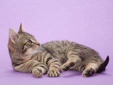 Free Striped Kitten, Isolated Royalty Free Stock Photography - 8323147