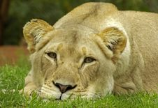 Free Lioness Royalty Free Stock Images - 8323149