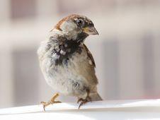 Free Sparrow Royalty Free Stock Photo - 8323365