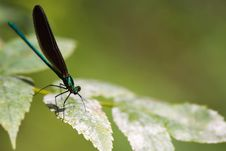 Free Damselfly Royalty Free Stock Photos - 8323458