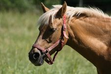 Free Horse Royalty Free Stock Photography - 8323827