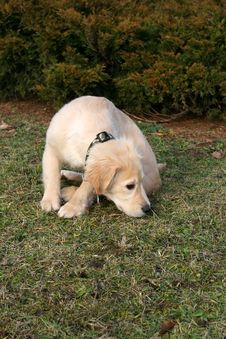 Free Golden Retriever Puppy Sniffing Royalty Free Stock Photos - 8323828