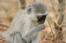 Free Monkey Eating Royalty Free Stock Image - 8323906