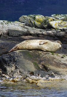 Seal On The Rocks Stock Photos