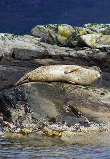 Free Seal On The Rocks Stock Photos - 8324653