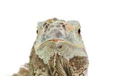 Free Iguana Stock Photo - 8324880