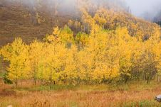 Free Aspen Trees In The Fall Royalty Free Stock Image - 8325366