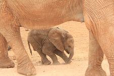 Free Elephant Calf Stock Photography - 8326012