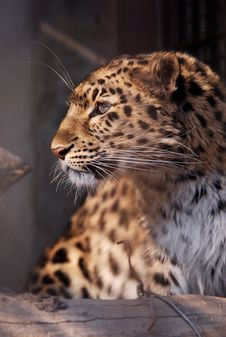 Leopard In The Cage Stock Images