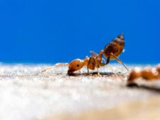 Free Small ANT Royalty Free Stock Photography - 8327127