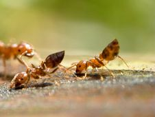 Free Small ANT Stock Image - 8327181