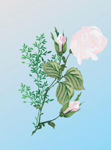 Illustration With Light Pink Rose Royalty Free Stock Photo