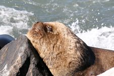 Southern Sea Lion Royalty Free Stock Images