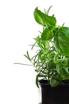 Free Herbs Basil And Rosemary Royalty Free Stock Photo - 8327435