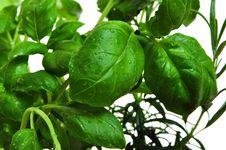 Free Herbs Basil And Rosemary Royalty Free Stock Photography - 8327517