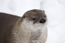 Free Canadian Otter Royalty Free Stock Photo - 8327575
