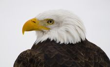 Free Bald Eagle Stock Photo - 8327600