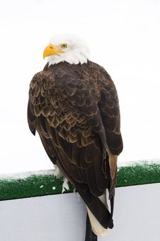 Free Bald Eagle Winter Stock Photography - 8327612