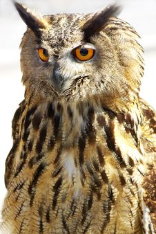 Portrait Of Wise Owl Stock Image