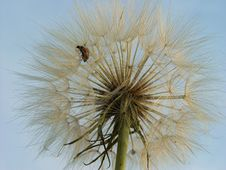 Free Dandelion Fluff Royalty Free Stock Photo - 8327985