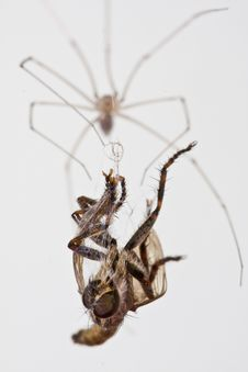 Free Spider Eats Fly Stock Image - 8328001