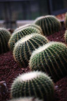 Spherical Cactus Royalty Free Stock Photo